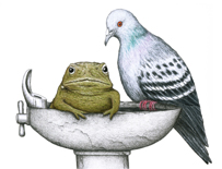 Pigeon Toad